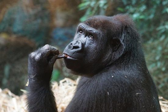 gorilla-973245_640